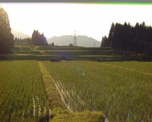 画像4: 自然栽培ササニシキ 玄米5kg