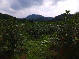 画像5: 無農薬自然栽培 乾燥アロニア 50g
